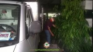 Công ty cây xanh Gia Nguyễn, Cây hoàng nam, Giống cây lâm nghiệp, Cây giống, Cây hoàng nam giống