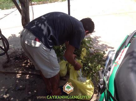 Công ty cây xanh Gia Nguyễn, Cây muồng đen, Cây giống muồng đen, Muồng đen, Cây lâm nghiệp