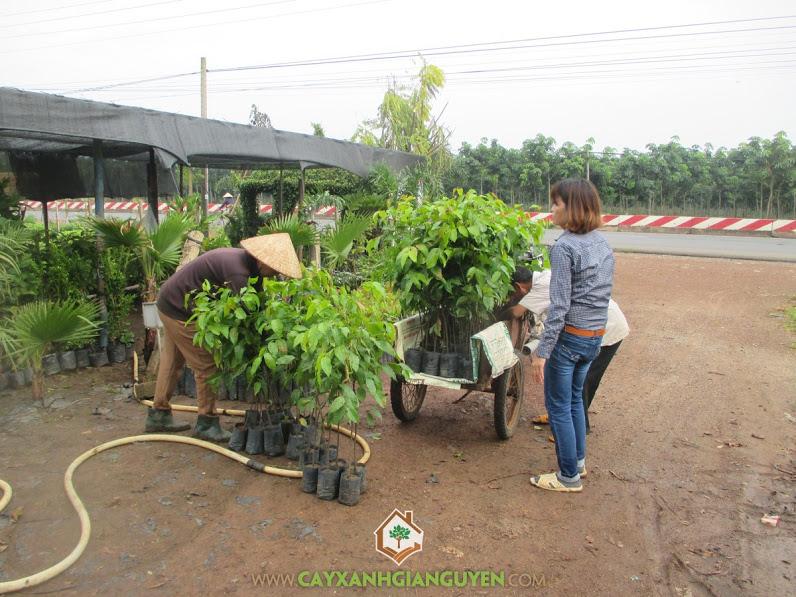 Cây xanh Gia Nguyễn, Cây sao đen, Giống cây lâm nghiệp, Cây sao đen giống, Gỗ cây sao đen