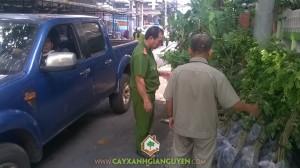 Cây sưa đỏ, cây xanh Gia Nguyễn, gỗ sưa, cung cấp cây sưa đỏ, Công ty cây xanh Gia Nguyễn