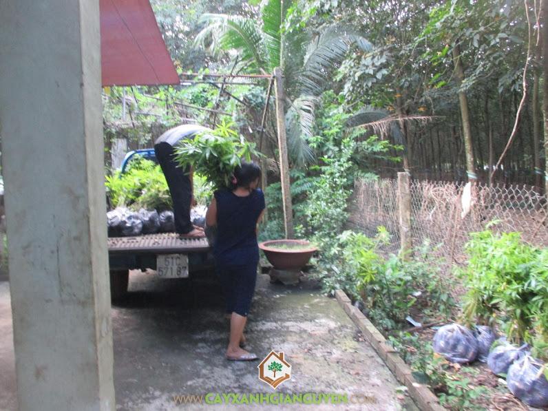 Công ty cây xanh Gia Nguyễn, Cây trôm, Mua cây trôm giống, Gỗ trôm, Cây mủ trôm