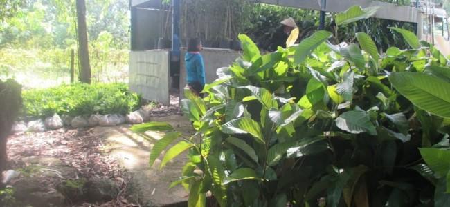 cây xanh gia nguyễn, cây dầu rái, cao su đồng phú, cung cấp cây giống, cây giống lâm nghiệp