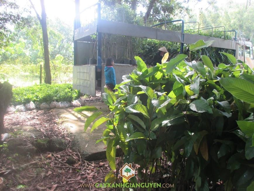 Công ty Gia Nguyễn cung cấp 570 cây rầu rái cho công ty cao su Đồng Phú