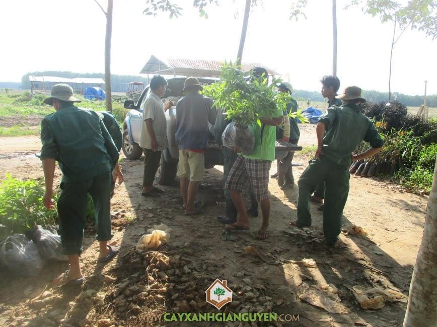 Cây Xanh Gia Nguyễn cung cấp 6000 cây Keo Lai cho Công ty TNHH MTV Cao Su Dầu Tiếng