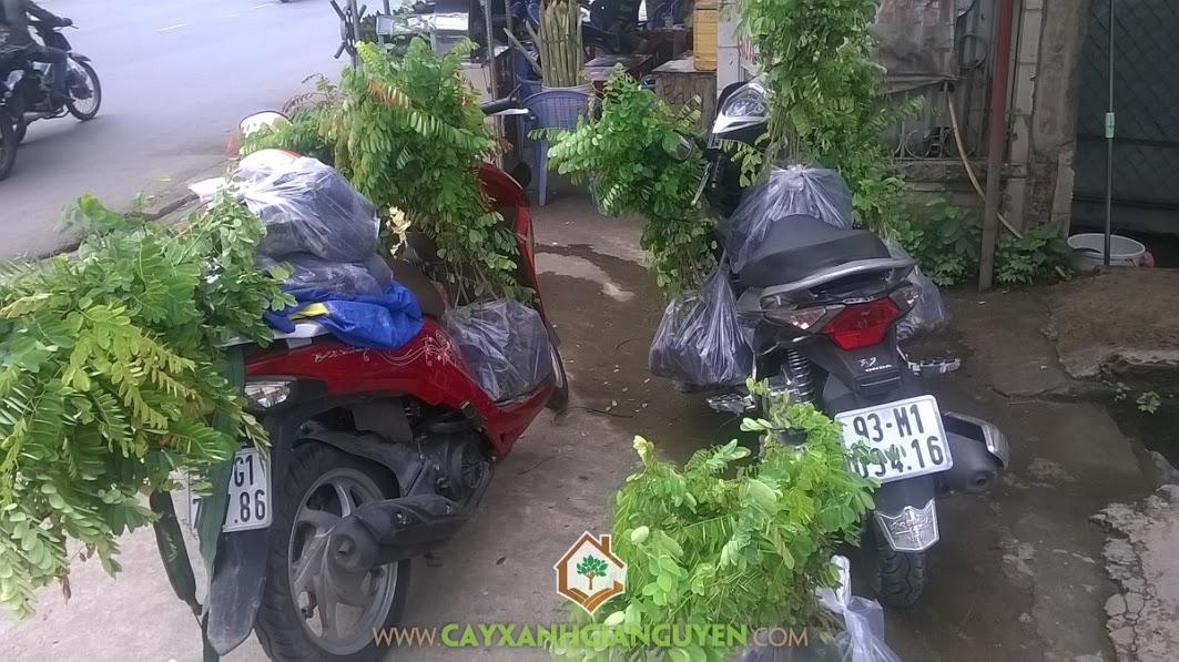 Cây xanh Gia Nguyễn, Cây cẩm lai, Công ty Vạn Lộc, Gỗ cẩm lai, Công ty cây xanh Gia Nguyễn