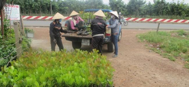 Công ty cây xanh Gia Nguyễn, Cây điều, Giống cây điều, Điều giống, Giống điều Ấn Độ