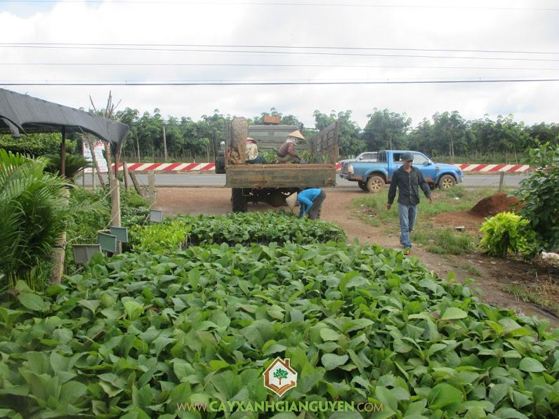 Công ty cây xanh Gia Nguyễn, Cây giá tỵ, Giá tỵ, Cây tếch, Cây xanh Gia Nguyễn