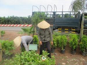 Cây xanh Gia Nguyễn, Cây gáo vàng, Cây giáng hương, Cây cẩm lai, Gỗ cẩm lai