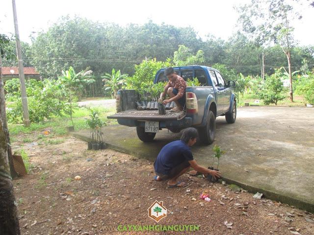 Công ty cây xanh Gia Nguyễn, Cây điều, Hạt điều, Cây giống chính, Cây xanh Gia Nguyễn