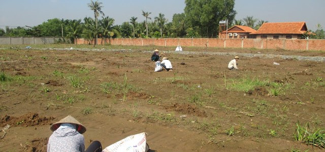 Công ty cây xanh Gia Nguyễn, Cây gáo vàng, Cây giống chất lượng tốt, Số lượng cây gáo vàng, Cây giống