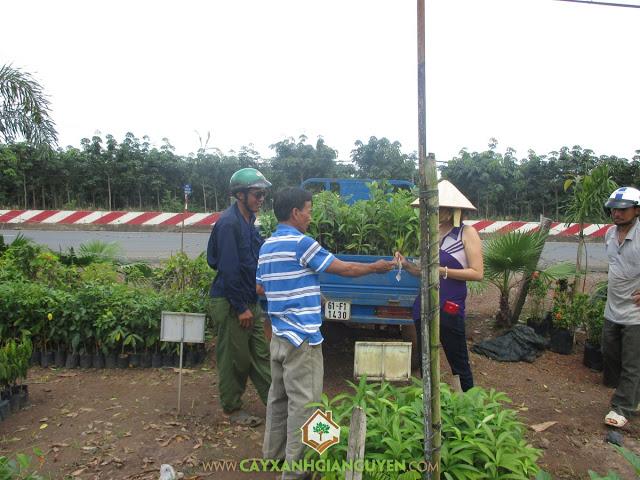 Công ty cây xanh Gia Nguyễn, Cây gió bầu, Cây hoa sữa, Cây giống lâm nghiệp, Cây có giá trị kinh tế cao