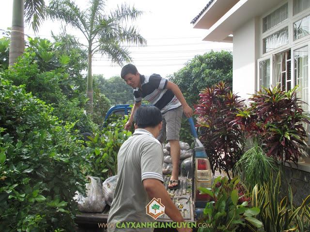 Công ty cây xanh Gia nguyễn, Cây gáo vàng, Sưa đỏ, Giá tỵ, Cây xanh Gia Nguyễn