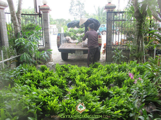Cây xanh Gia Nguyễn, Cây keo lai, Keo lai, Cây giống, Công ty cây xanh Gia Nguyễn