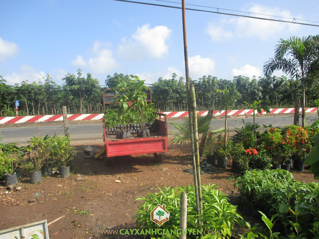 Công ty cây xanh Gia Nguyễn, Cây trôm, Mủ trôm, Gỗ trôm, Trôm giống