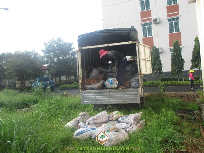 Công ty Cây Xanh Gia Nguyễn, Cỏ lá gừng, Cung cấp cỏ lá gừng, Cỏ lá gừng giống, KCN Bắc Đồng Phú