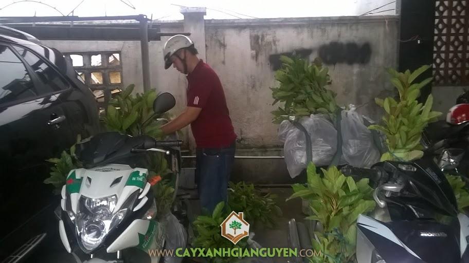 Công ty cây xanh Gia Nguyễn, Cây gáo vàng giống, Cây gáo vàng, Cây xanh Gia Nguyễn, Gáo vàng