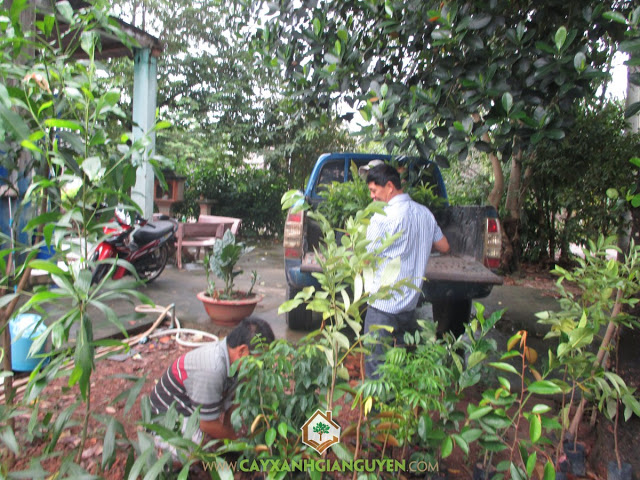 Công ty cây xanh Gia Nguyễn, Cây Osaka vàng, Cây tha la, Hoa tha la, Cây công trình