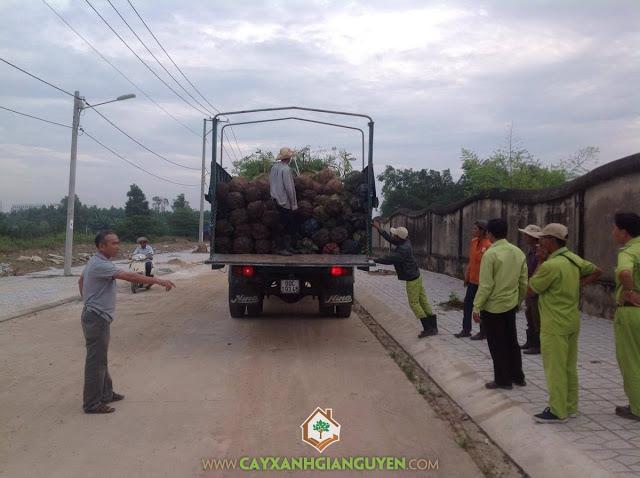 Cây xanh Gia Nguyễn, Cây lim xẹt, Muồng kim phượng, Phượng vàng, Lim xẹt