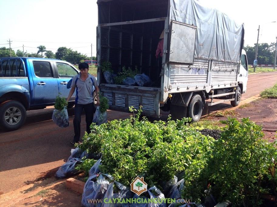 Cây Bông Giấy, Bông Giấy Công Trình, KCN Bắc Đồng Phú, Cây Xanh Gia Nguyễn, Tỉnh Bình Phước