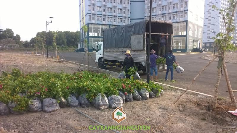 Cây xanh Gia Nguyễn, Bông giấy, Công ty cổ phần cây xanh Sài Gòn, Cây gỗ leo, Công ty cây xanh Gia Nguyễn
