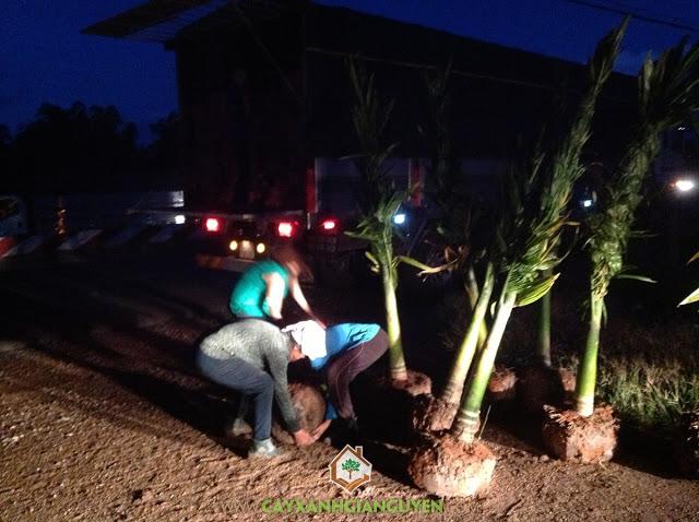 Công ty cây xanh Gia Nguyễn, Cây cau lùn, Cau lùn, Cau đỏ, Chăm sóc cây giống