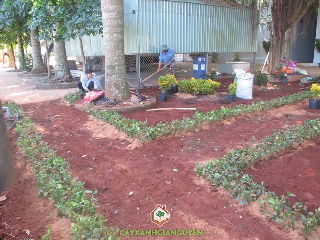 Cây xanh Gia Nguyễn, Cỏ đậu phộng, Cỏ nhung nhật, Chuối mỏ két, Cung cấp cây giống