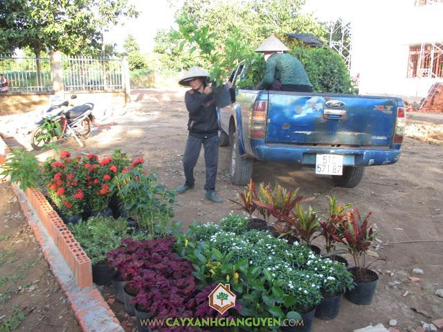Cây xanh Gia Nguyễn, Cây mai vạn thọ, Cây hoàng yến, Cây cô tòng, Cây dền đỏ