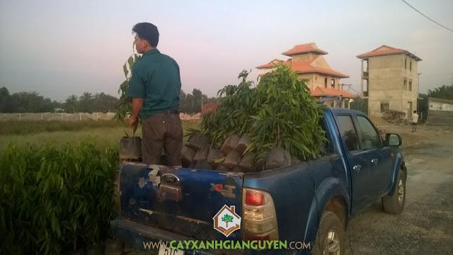 Cây hoàng nam, Công ty cây xanh Gia nguyễn, Cây giống, Lá Hoàng Nam, Cung cấp cây giống
