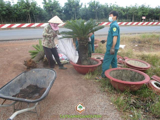 Công ty cây xanh Gia Nguyễn, Cây vạn Tuế, Chăm sóc cây giống, Vạn Tuế, Chậu vạn tuế