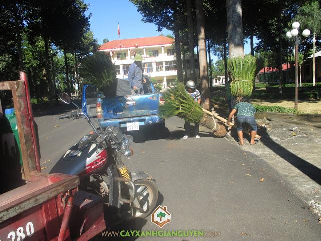 Công ty cây xanh Gia Nguyễn, Cây nguyệt quế, Cây vạn tuế, Cây cau lùn, Cây mai vạn phúc