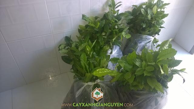 Cây giống chè xanh, Công ty Cây Xanh Gia Nguyễn, Cây chè xanh, Lá chè, Cây giống lâm nghiệp