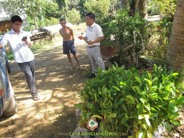 Cây gáo vàng, Công ty cây xanh Gia Nguyễn, Cây giống, Cung cấp cây giống, Gáo vàng