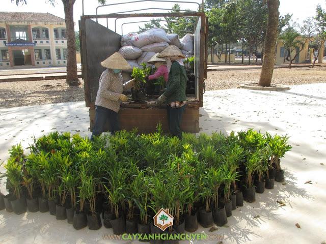 Công ty Gia Nguyễn, Cây giống, Cây đuôi lươn, Cây lá gấm, Cây cẩm tú mai