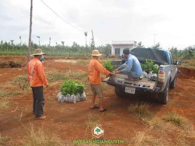 Cây xanh Gia Nguyễn, Cây trà đắng, Cây vối, Cây mắc mật, Cây giống
