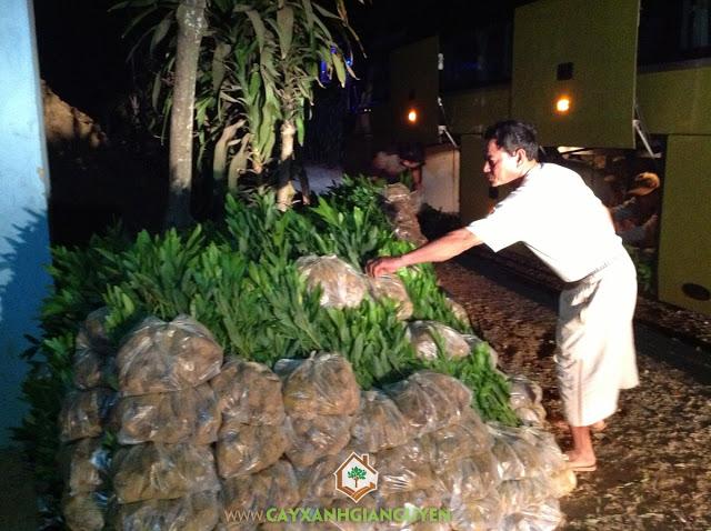 Cây Xanh Gia Nguyễn, Cây Keo Lai, Cây Giống Lâm Nghiệp, Cây gỗ chất lượng tốt