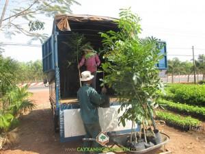 Cây Xanh Gia Nguyễn, Cây Xà Cừ Giống, Vườn ươm Cây Xanh Gia Nguyễn, Cây Xà Cừ, Cây giống