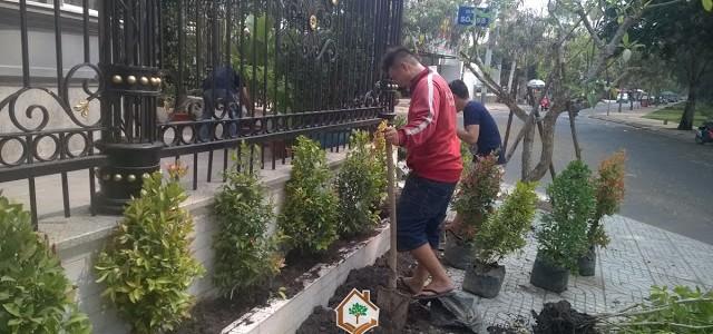 Cây Hồng Lộc, Trồng cây Hồng Lộc, Công ty Cây Xanh Gia Nguyễn, Cây kiểng lá, Khu dân cư Trung Sơn