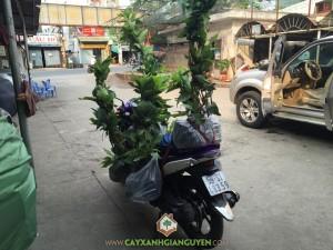 Cây Xanh Gia Nguyễn, Cây Mận An Phước, Cây Bưởi Da Xanh, Cây ăn trái, Công nhân Cây Xanh Gia Nguyễn