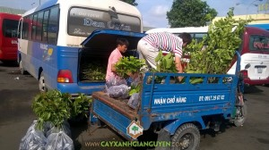 Giống cây ăn trái, Chôm Chôm Thái, Bơ Sáp Da Xanh, Mận An Phước, Cách trồng và chăm sóc cây