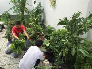 Cây Xanh Gia Nguyễn, Cây Ăn Quả, Cây Măng Cụt, Cây Khế Chua, Cây Bưởi Da Xanh