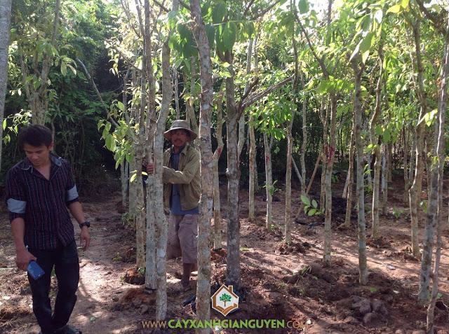Cây Xanh Gia Nguyễn, Cây giống, Cây Bưởi Da Xanh, Cây Giáng Hương, Cây Sao Đen