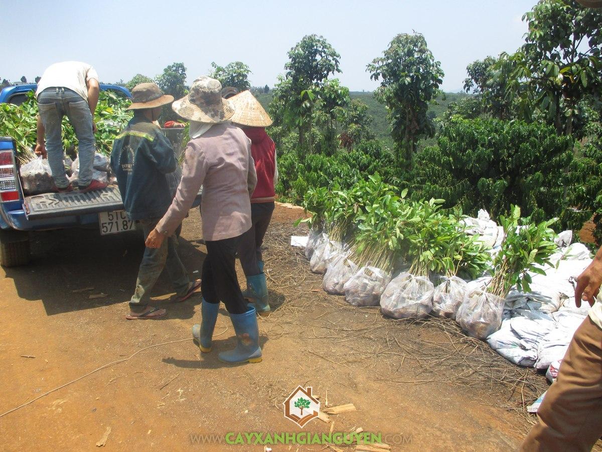 Cây Gáo Vàng, Vườn ươm Gia Nguyễn, Cách trồng và chăm sóc, Cây tỷ phú, Cây Lâm Nghiệp