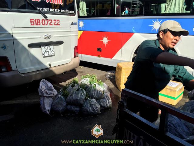 Cây Bạch Đàn, Giống cây ăn trái, Vườn Ươm Gia Nguyễn, Cây giống Bạch Đàn, Cách thức trồng và chăm sóc cây