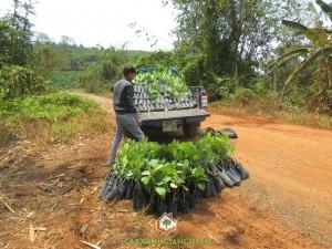 Cây Điều Thái Lan, Cây Xanh Gia Nguyễn, Kỹ thuật chăm sóc trồng cây, Cây lâm nghiệp, Điều của Bình Phước