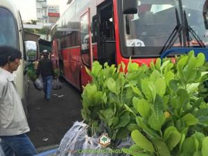 Cây Điều Thái Lan AB 29, Vườn ươm Cây Xanh Gia Nguyễn, Công ty Gia Nguyễn, Giống Điều, Giống cây trồng