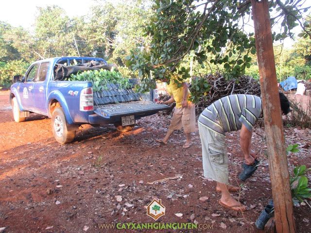 Vườn ươm Cây Xanh Gia Nguyễn, Cây Điều Thái Lan, Cây Điều, Giống điều cao sản, Công ty Cây Xanh Gia Nguyễn