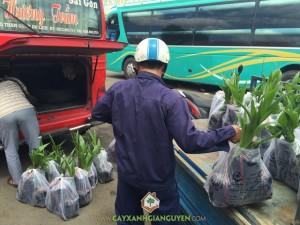 Cây Dừa Xiêm Lùn, Cây Xanh, Cây giống, vườn ươm Gia Nguyễn, Trồng giống dừa xiêm lùn