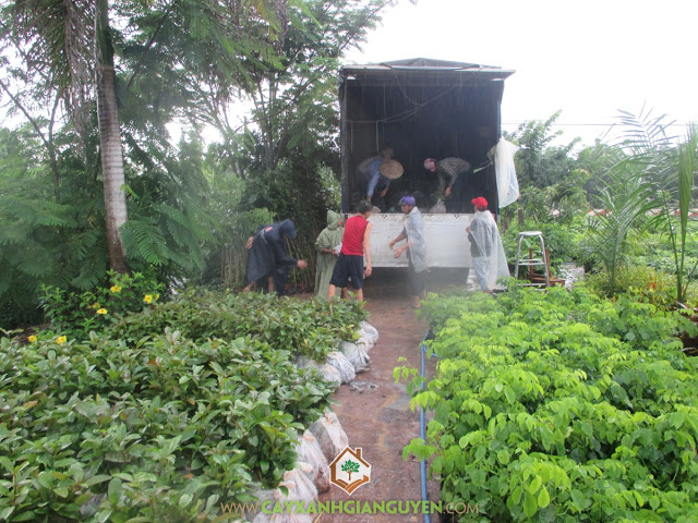 Cây Xanh Gia Nguyễn, Vườn ươm Cây Xanh Gia Nguyễn, Cây Gáo Vàng, Cây công nghiệp, Trồng Gáo Vàng