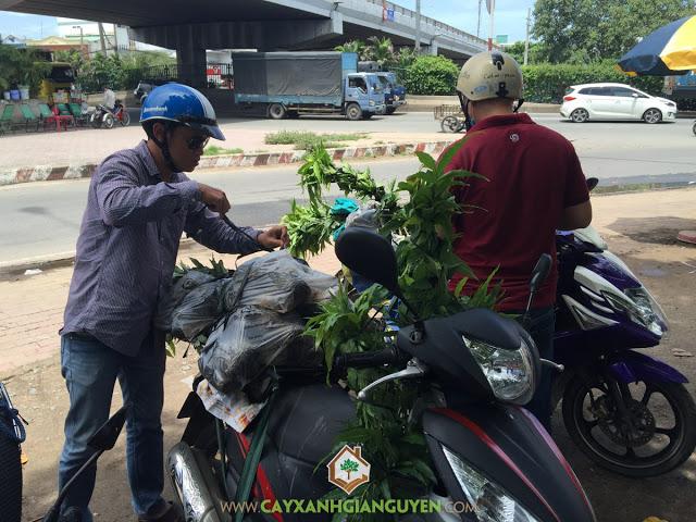 Cây Xanh Gia Nguyễn, Cây giống, Cây Hoàng Nam, Cây cảnh quan, Cây công nghiệp