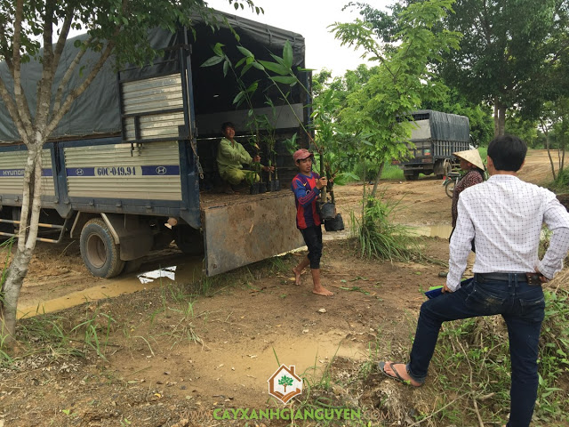 Cây Xanh Gia Nguyễn, Cây tre Mạnh Tông, Công ty DL SInh Thái Sơn Tiên, Giống tre, Trồng giống tre